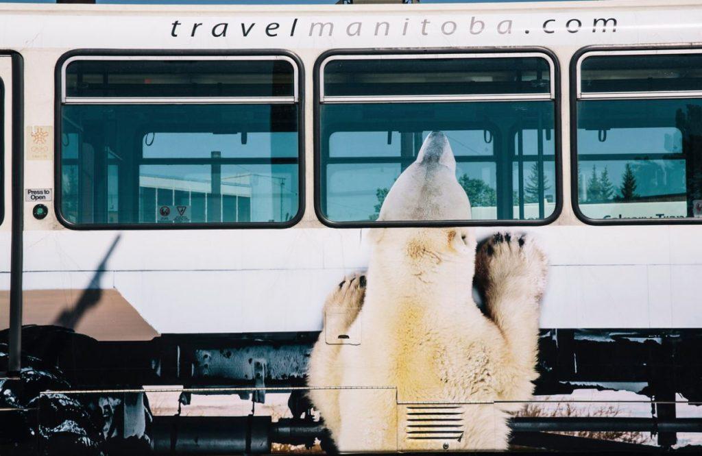 Polar bear peeking into train Travel MB